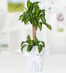 Yucca Mesengena